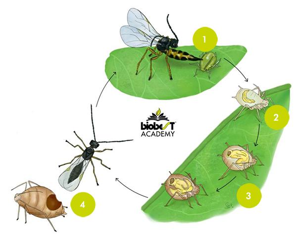 How do parasitoids work?
