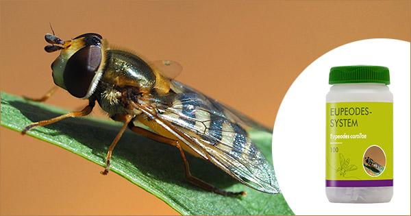 Eupeodes corolla adult