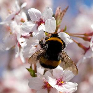 Cerisier pollinisation