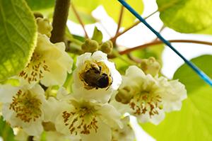 The Latest In Kiwi Pollination Biobest