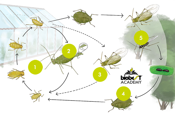 Life cycle aphids