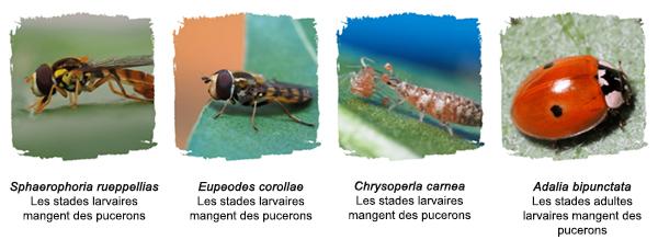 Predators of aphids