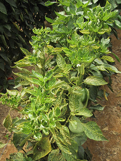 Spider mite damage in sweet pepper