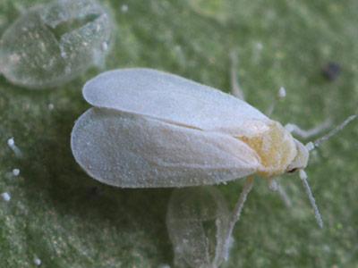 Adult Trialeurodes vaporariorum