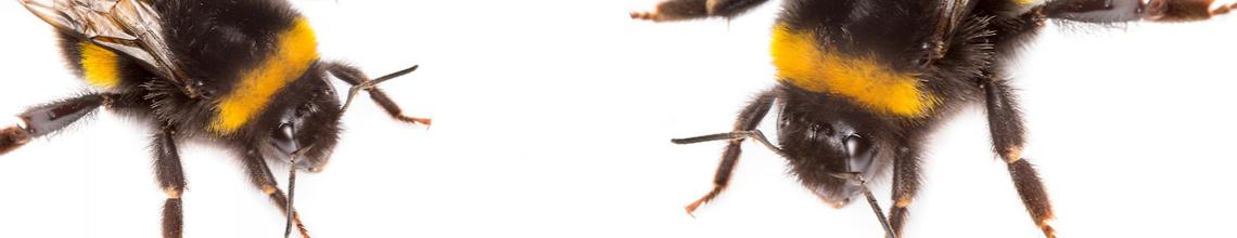 Picaduras abejorros | Biobest