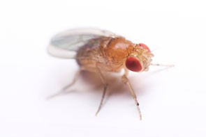 fruits that are healthy for you fruit fly larvae